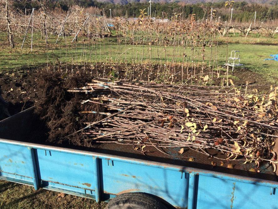 掘り上げされた苗木。しっかりとした根が出来、小枝もできています。