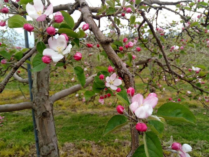 開花した王林の花 中心花が始めに咲きます