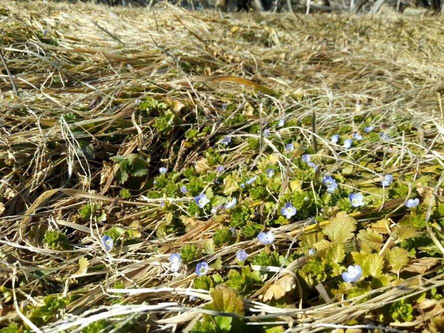 枯葉の間から顔を出したオオイヌノフグリの花