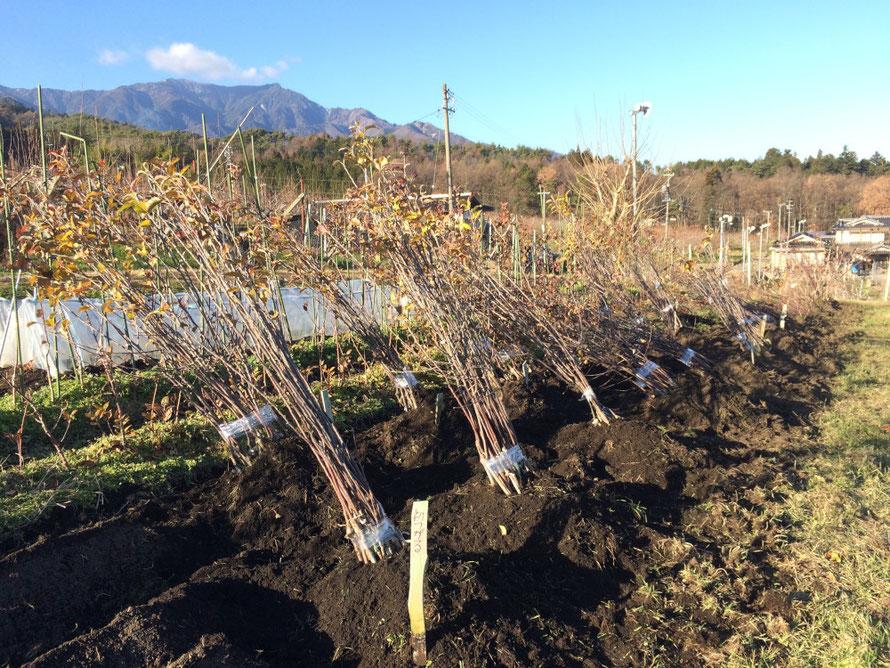 掘り上げされた苗木たちの仮植え。植え付けを待ちます。