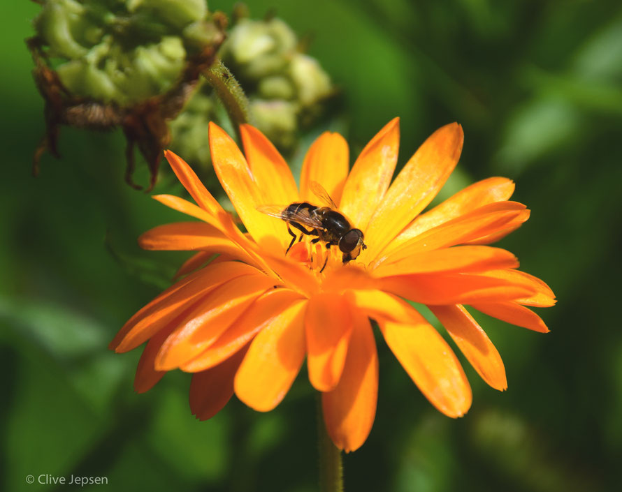 Die Mittagssonne läßt die Blüte und das Insekt leuchten.