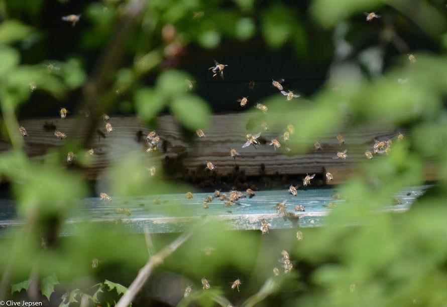 Fluglotsenstreik am Bienenstock ????!!!!!    Chaos herrschte in der Luft.  Aber keine Angst, die Piloten hatten alles im Griff :-)))))