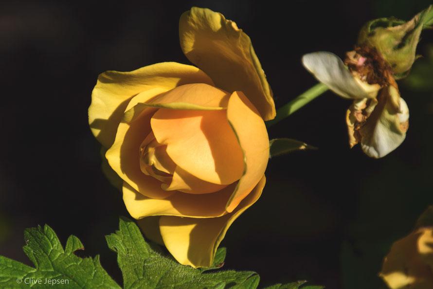 In voller Blüte abgeknickt-und trotzdem noch schön.   Gesehen beim Besuch im Rosarium Wilhelmshaven