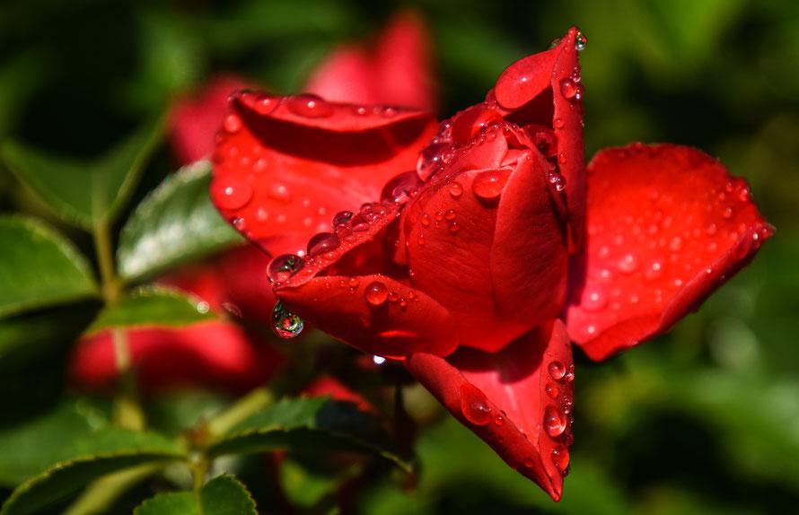 Im Park der Gärten in Bad Zwischenahn entdeckte ich im Morgentau diese schöne Rose.