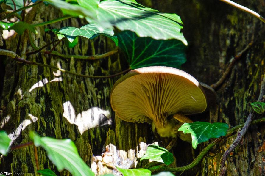 Ein Austernpils, einer der wenigen Pilze, die auch im Winter wachsen.