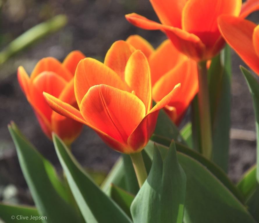 Tulpen zu Ostern 2016