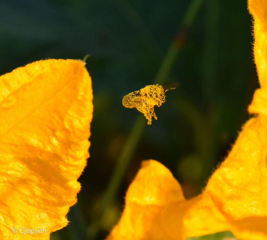 Ein Pudermonster im Anflug. Da hat sich wohl zu viel feuchter Blütenstaub festgesetzt.