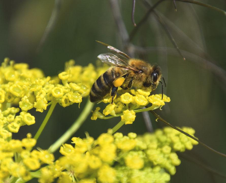 Die Pollensäcke sind prall gefüllt und nun geht der Flug weiter.