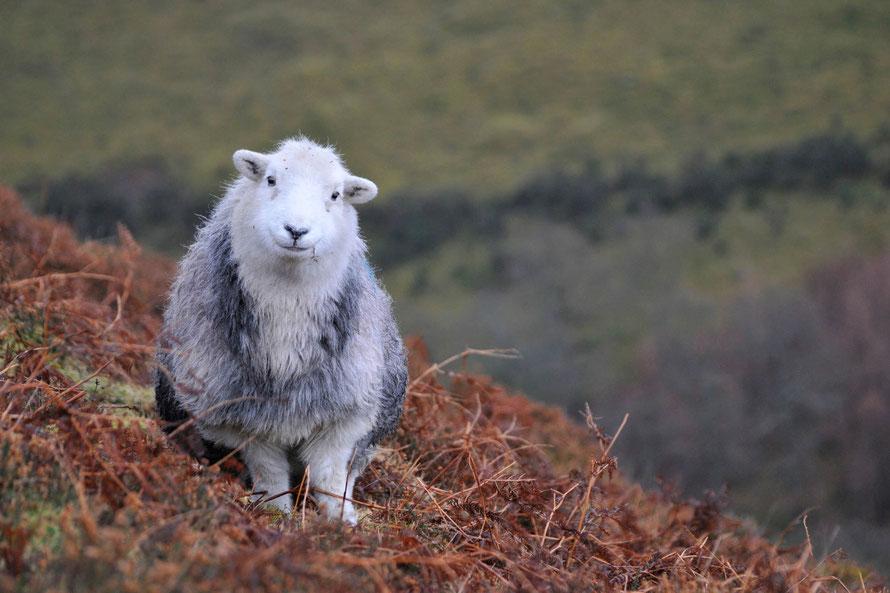 Bald bei uns im Shop: Herdy, das Original-Herdwick-Schaf