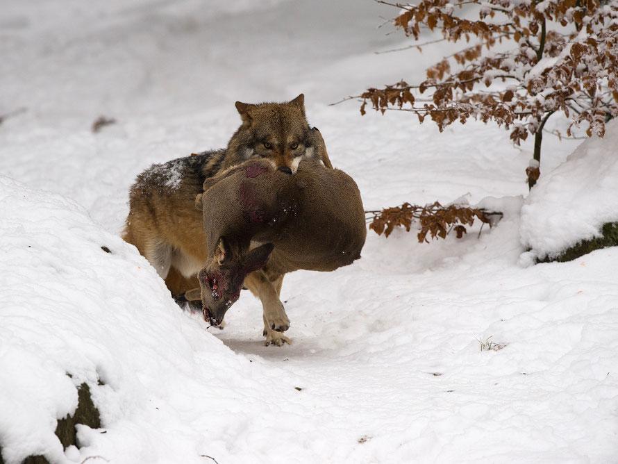 Wolf (Canis lupus)  Horst Jegen Naturfotografie