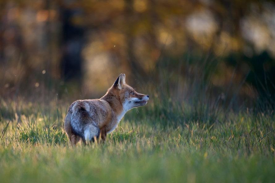 Rotfuchs (Vulpes vulpes), Horst Jegen Naturfotografie