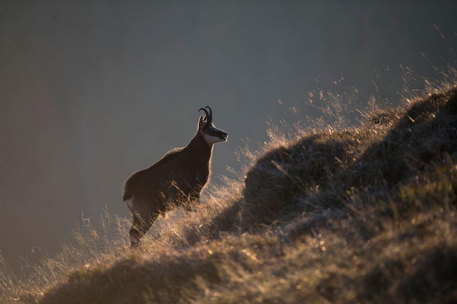 Gams; Horst Jegen - Naturfotografie, Gämse, Gamswild, Rupicapra rupicapra