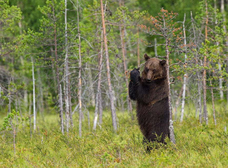 Braunbär (Ursus arctos) Horst Jegen Naturfotografie