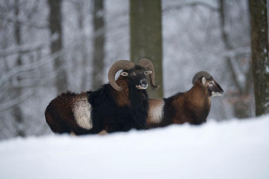 Mufflon im Winter, (Ovis gmelini-Gruppe), Horst Jegen Naturfotografie