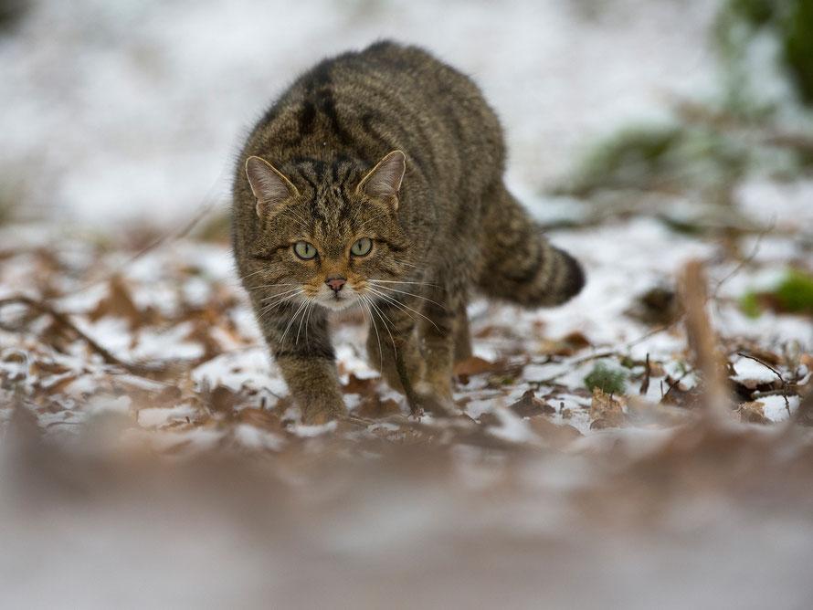 Wildkatze (Felis silvestris) Horst Jegen Naturfotografie