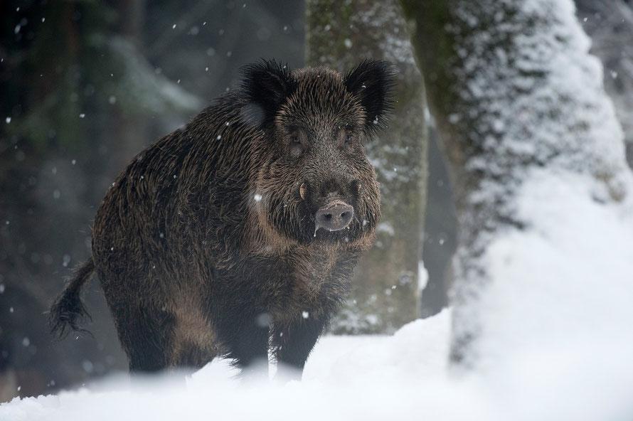 Wildschwein (Sus scrofa )