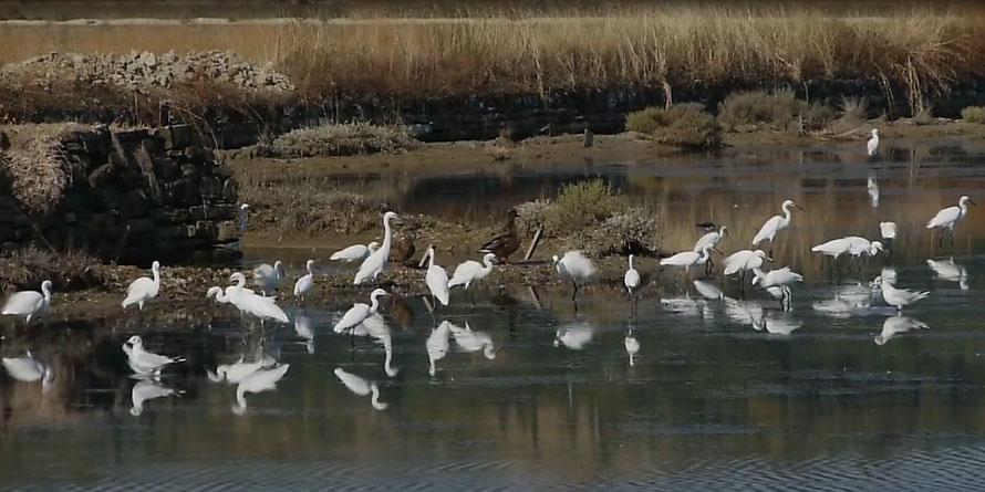 Herons in the Strunjan salt pans