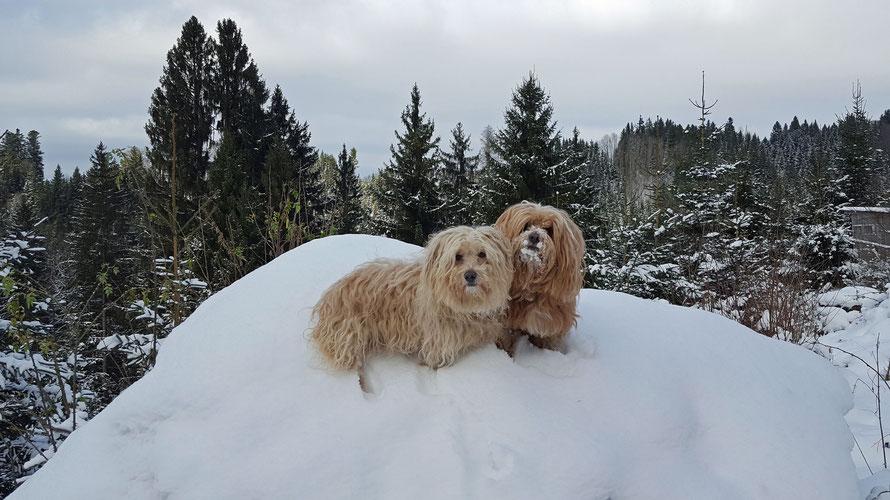 Hunde im Allgäuer Schnee