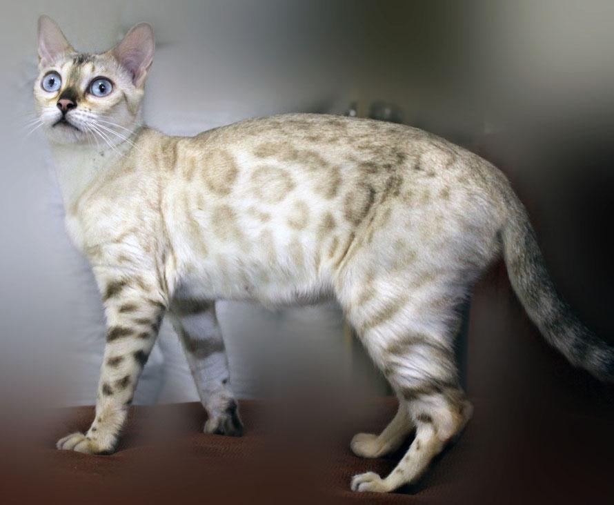 бенгальские котята на продажу питомник фантазия розетка на золоте ручные ласковые спокойные