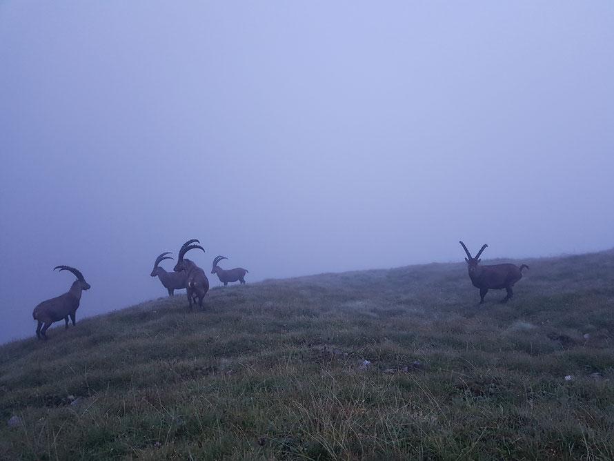 Eine Herde Steinböcke im Morgennebel unmittelbar neben der Memminger Hütte