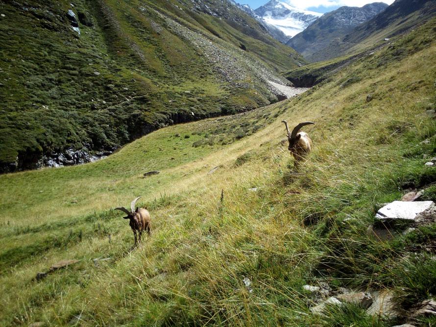 Tierische Begleiter der E5-Wanderer beim Aufstieg zur Martin-Busch-Hütte