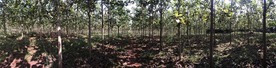 チーク フローリング 植林
