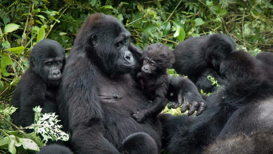 Gorilla _family_ in _Bwindi- Impenetrable_ National Park