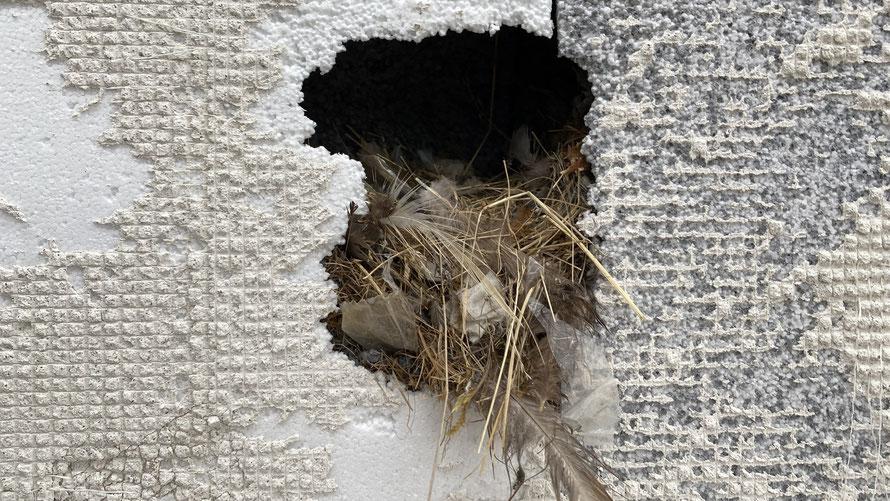 Vogelnest direkt hinter dem Putzsystem der Fassade