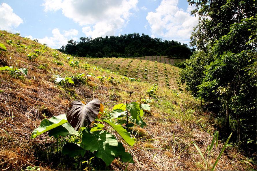Teakbaum-Neupflanzung © Foto: Arbofino AG