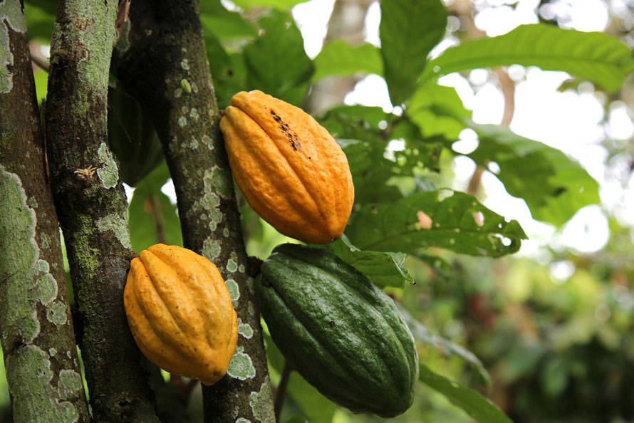 Bio Edel-Kakaofrüchte © Foto: Arbofino AG