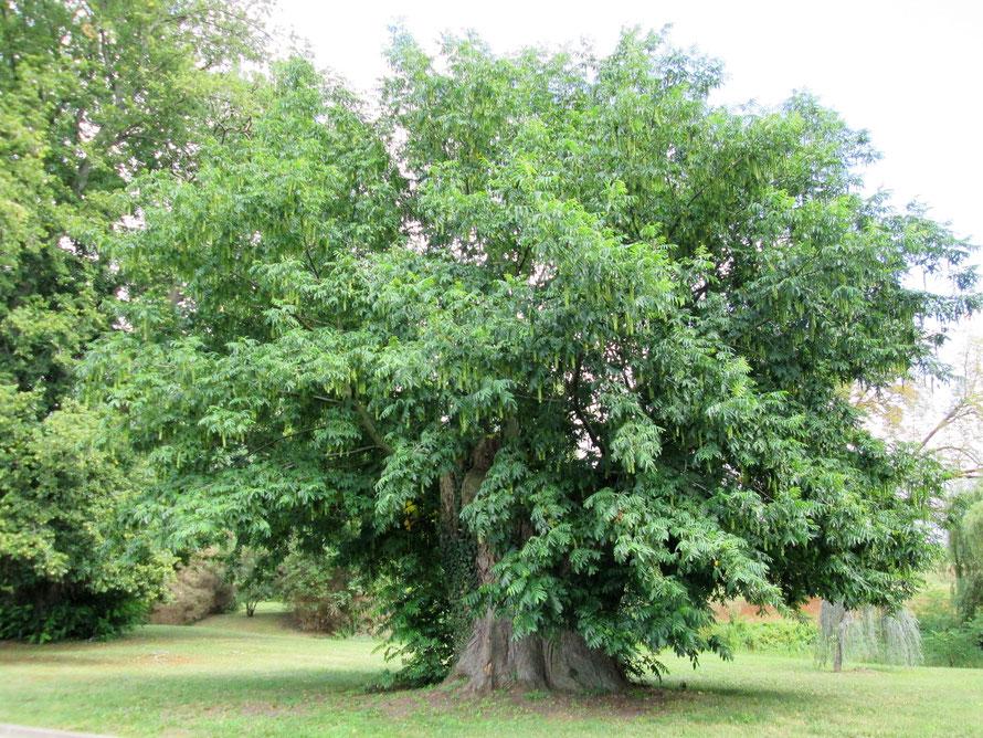 """Très viel arbre des """"jardins de Paris"""""""