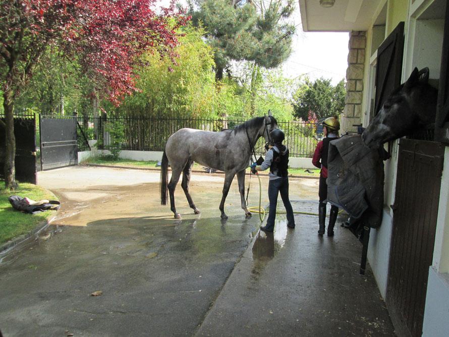 douche d'un cheval de course après l'entrainement à Maisons-Laffitte