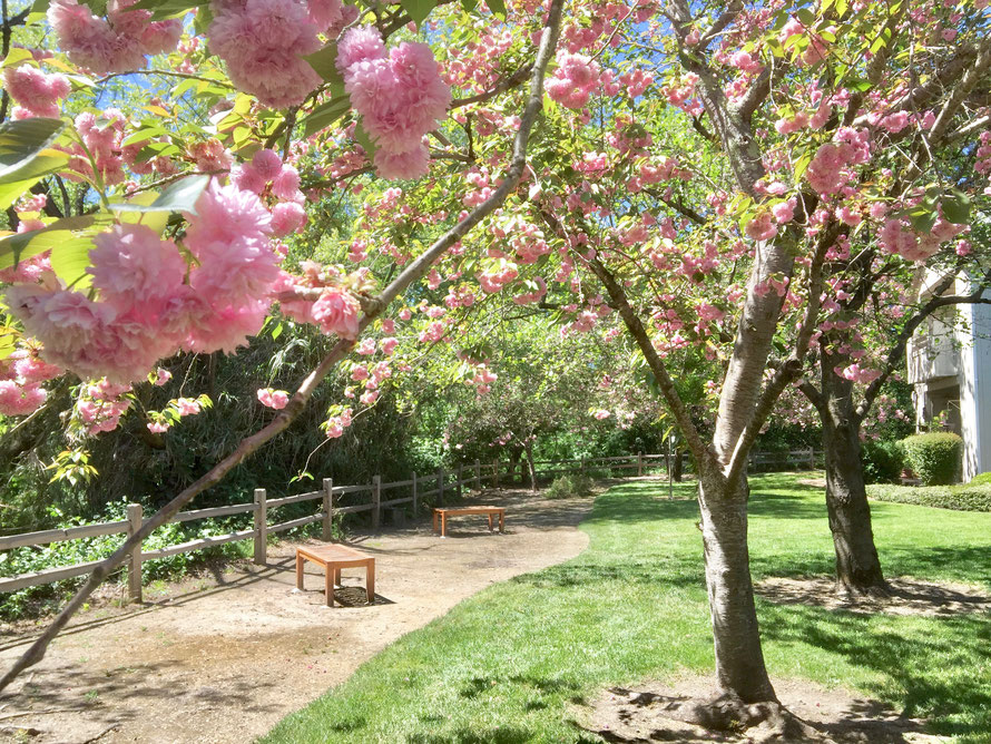Image of a serene area by the creek in the back of complex. It shows a cherry tree with flowers and a couple of wooden benches.