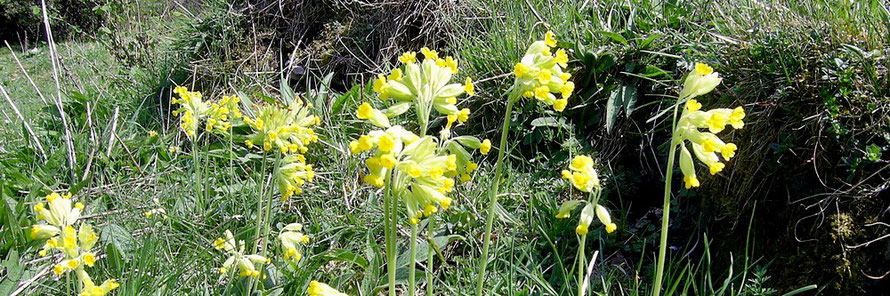 Cowslips.  Wild Flowers of the White Peak guided walk