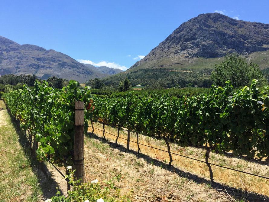 Vineyard Views in Franschoek, South Africa