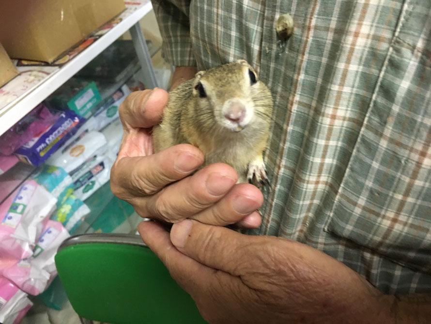 福岡手乗りインコ小鳥販売店ペットミッキンに手乗りリチャードソンジリスが仲間入りしました。