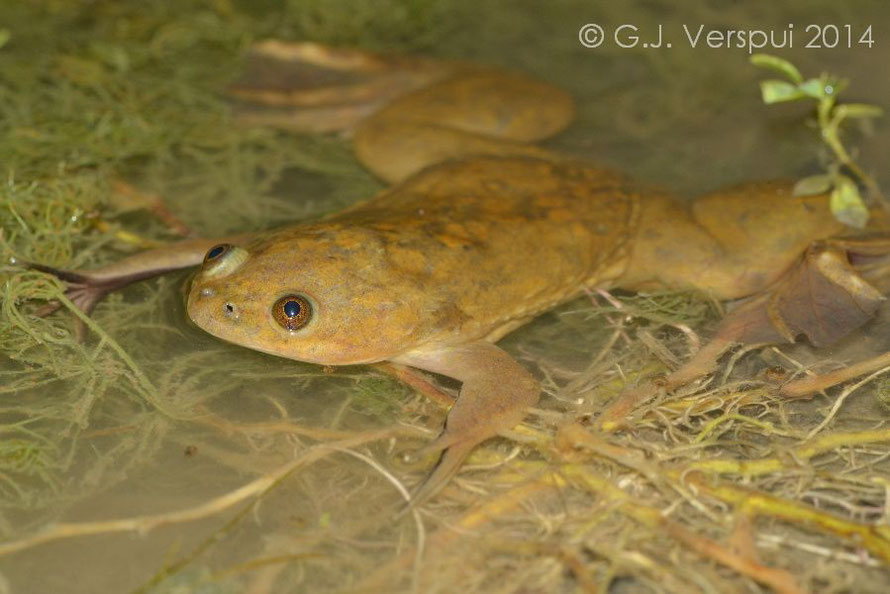 Xenopus laevis, Sicily, Italy, May 2014 (introduced population)