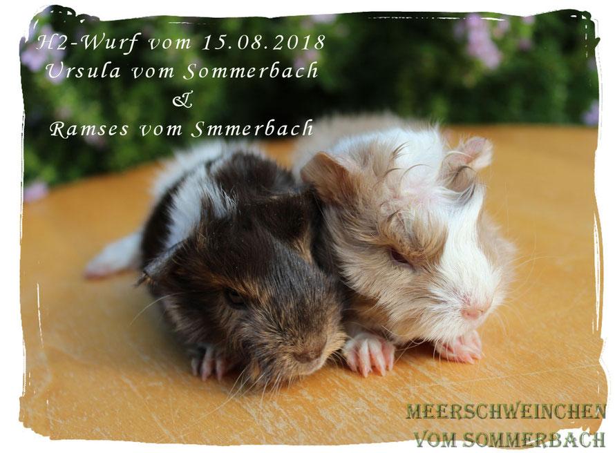 H2-Wurf vom 15.08.18, Hanni und Havanna vom Sommerbach