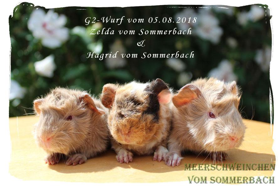 G2-Wurf vom 05.08.18, Ginny, Glurak und Gundi vom Sommerbach