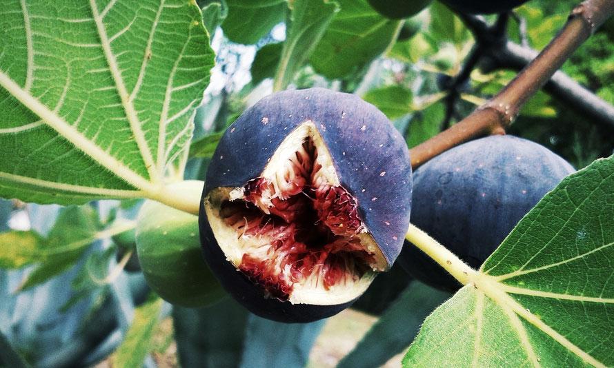 Teakbaum frucht  Kreta-Spezial: Die einheimische Flora. Für's Auge ja. Aber auch für ...