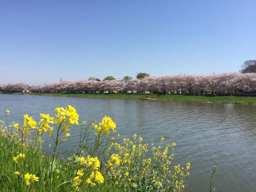 春の古利根川(ふるとねがわ)山も海も無い所ですが、川は多い。