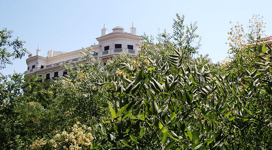 Árboles en Calle Alcalá