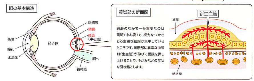 眼の基本構造、黄斑部の断面図