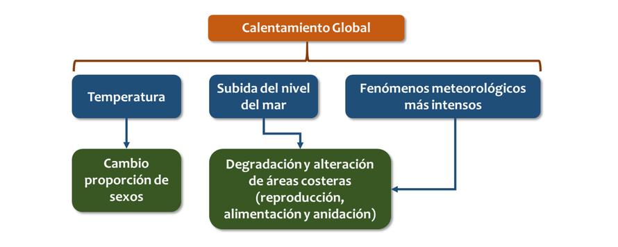 Diagrama de impactos derivados del cambio climático sobre las tortugas marinas