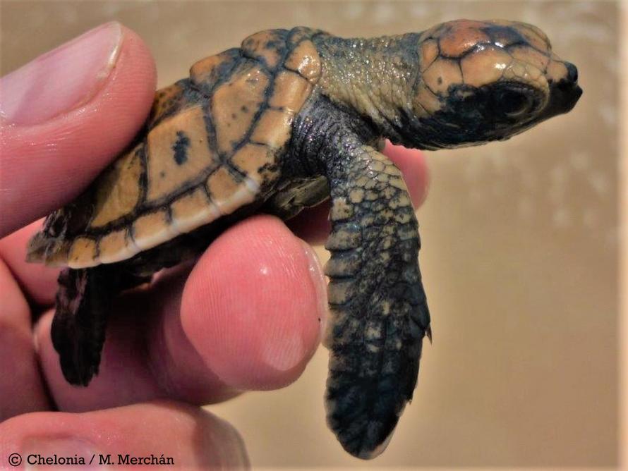 Neonato de tortuga carey
