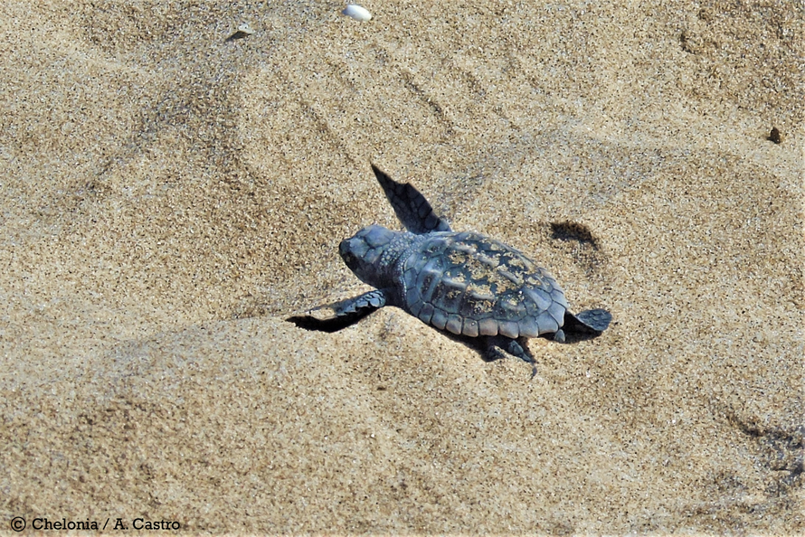 Neonato de tortuga boba avanzando por la playa