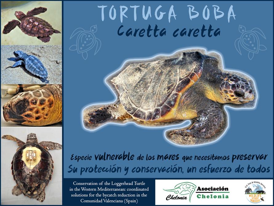 Póster Tortuga boba (Caretta caretta)