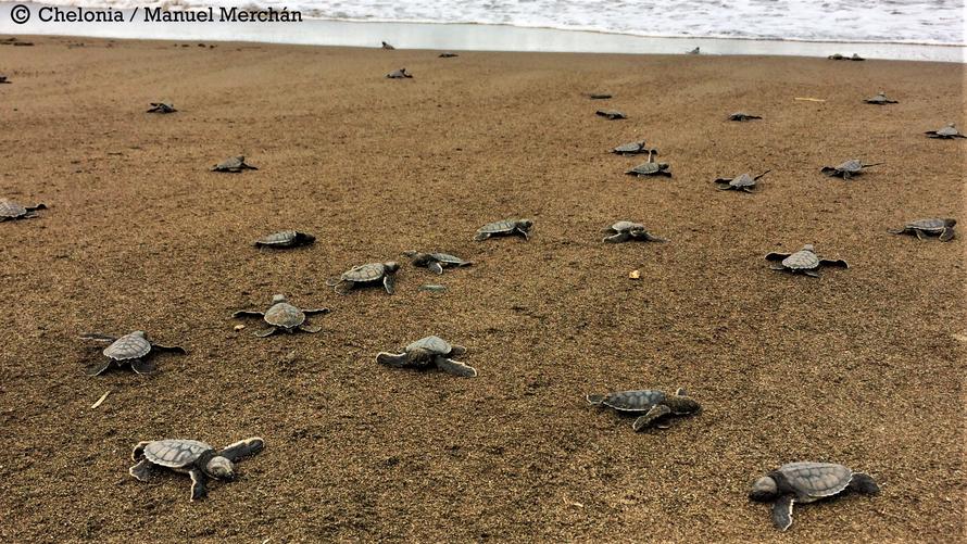 Crías de tortuga verde liberadas en su camino al mar