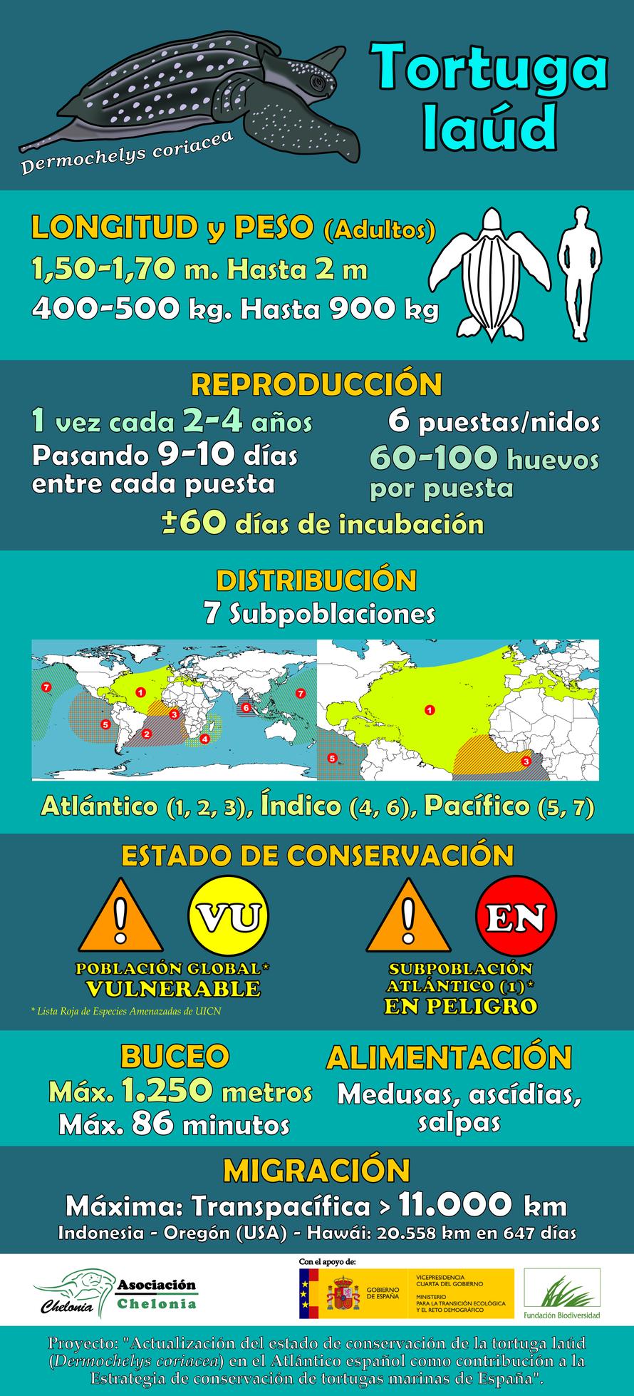 Infografía con datos generales de la tortuga laúd (Dermochelys coriacea)