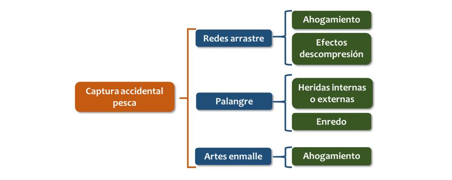 Diagrama de impactos derivados de la captura accidental sobre las tortugas marinas